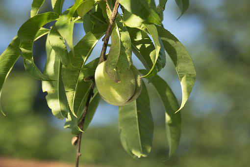 Leaf, Nature, Plant, Fruit, Eating, Peach, Green