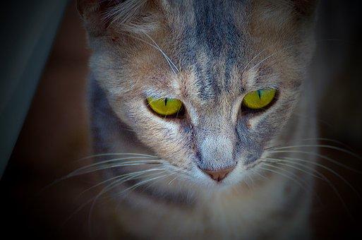 Cat, Portrait, Mammal, Animal, Pet, Cute, Fur, Eye