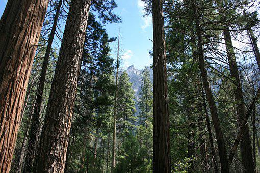 Wood, Tree, Nature, Conifer, Outdoors, Sequoia