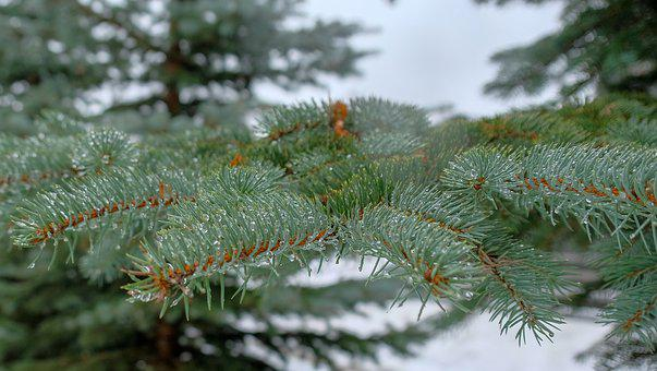Winter, Pine, Tree, Spruce, Needle, Evergreen
