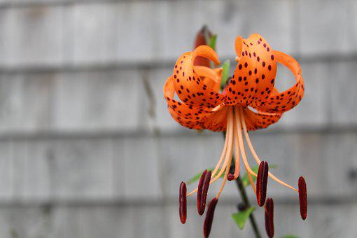 Nature, Flower, Tiger Lily, Lily, Texture, Orange