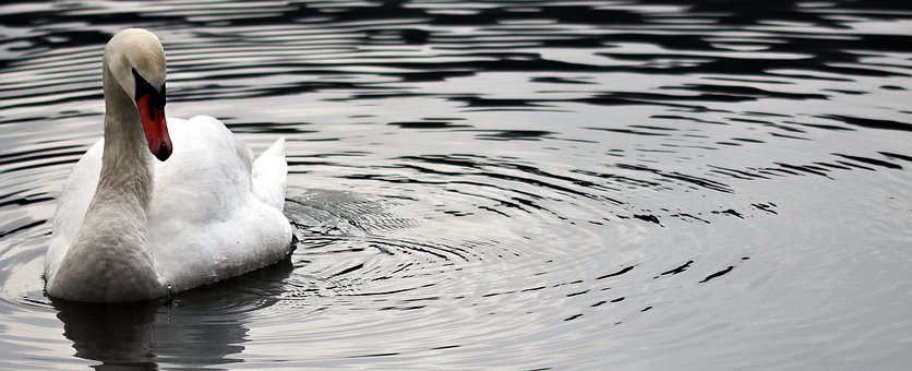 Waters, Nature, Reflection, Bird, Purity, Swan