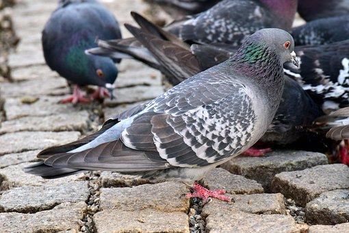 Cobblestones, City, Infestation Of Pigeons