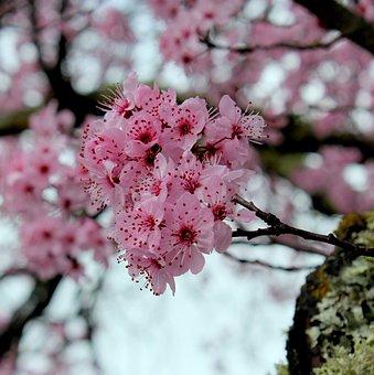 Cherry, Flower, Branch, Flora, Florist, Spring, Petals