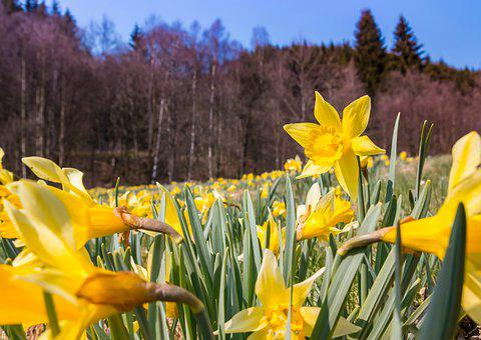 Nature, Narcissus Pseudonarcissus, Season, Flower