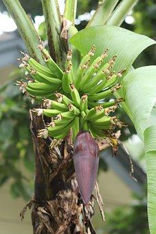 Bananas, Plant, Garden, Fruit