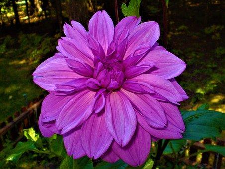 Hot Pink, Petals, Blossom, Dahlia, Summer, Colorful