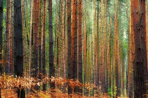 Wood, Tree, Nature, Background, Pine, Autumn, Conifer