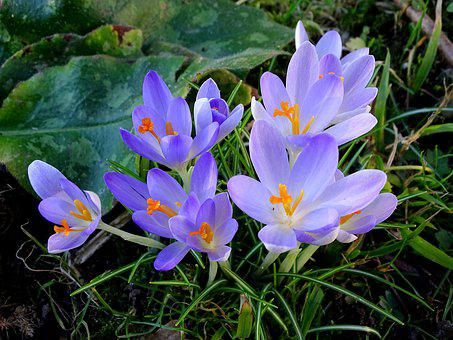 Crocus, Spring, Frühlingsblüher, Frühlingsanfang
