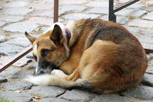Dog Resting, Animals, Stray Dog