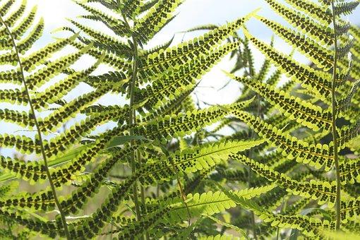 Fern, Woodfern, Green, Forest, Nature, Close Up