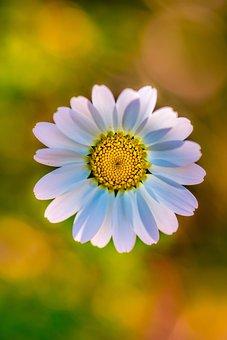 Margarita, Wild Flower, Flower, Shedding, Anthi