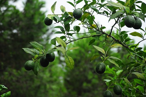 Lemon, Lemon Tree, Yesil Lemon, Green, Fruit