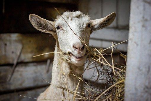Farm, Animals, Livestock, The Barn, Goat, Nature, Rural