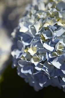 Flower, Nature, Plant, Background, Close, Hydrangea