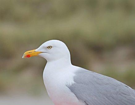 Seagull, Close, Head, Seevogel, Water Bird