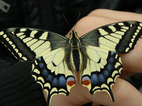 Dovetail, Papilio Machaon, Swallowtail Butterflies