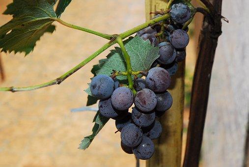Fruit, Vine, Uva, Wine, Vitis