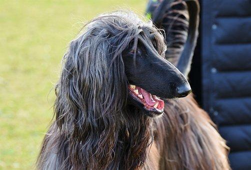 Afghan, Greyhound, Afghan Hound, Balutschi-greyhound