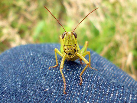 Natural, Outdoors, Bug, Insect, Grasshopper
