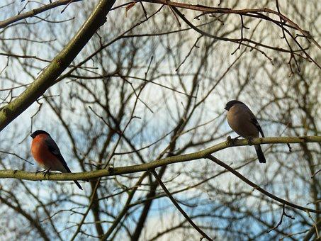 Gimpel, Bullfinch, Pair, Couple, Bird, Tree