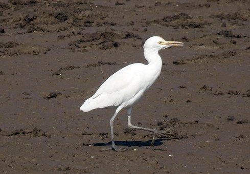 Bird, Cattle Egret, Bubulcus Ibis, Wildlife, Avian