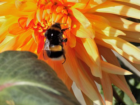 Dahlia, Bumblebee, Nature, Flower, Plant, Insect