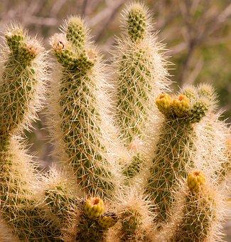 Cactus, Desert, Spine, Succulent, Prickly