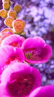 Digitalis Purpurea, Flower, Nature, Flora, Garden