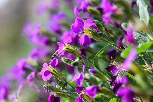 Pázsitviola, Flower, Nature, Plant, Garden, Blooming