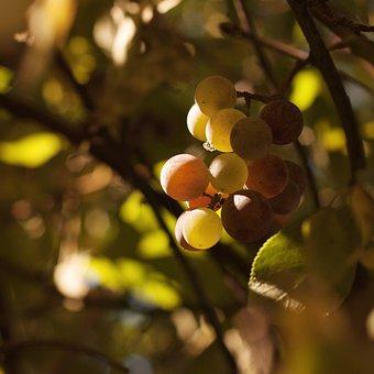Grapes, Nature, Tree, Sheet, Autumn, Vine