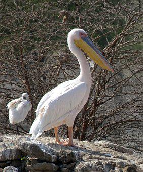 Bird, Great White Pelican, Pelecanus Onocrotalus