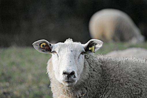 Sheep, Livestock, Head, Portrait, Sheepshead, Wool