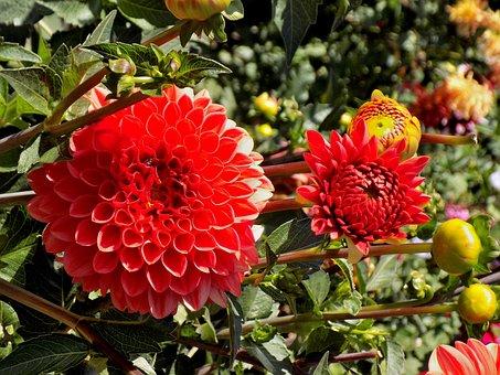 Dahlia, Nature, Plant, Flower, Garden, Sheet