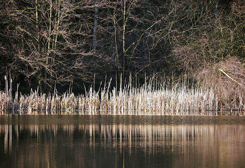 Winter At The Lake, Reed, Reeds, Dry, Mixed Forest