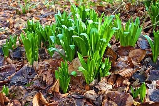 Snowdrops, Plant, Flower, Leaves, Foliage, Spring