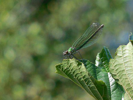 Dragonfly, Sheet, Green, Summer, Winged Insects