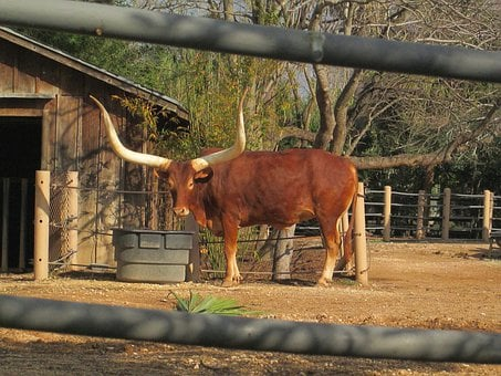Longhorns, African, Cattle, Africa, Cows, Outside