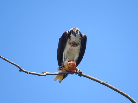 Osprey, Raptor, Bird, Wildlife, Animal, Beak, Feathers