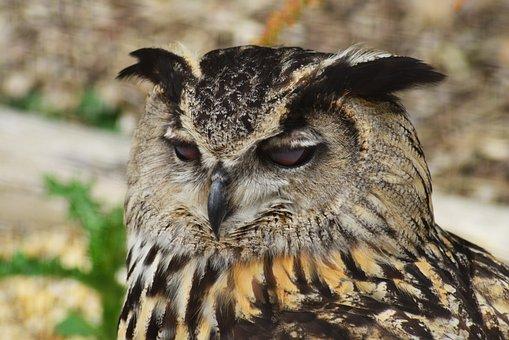 Eurasian Eagle Owl, Bird, Owl, Head, Bubo Bubo