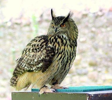 Owl, Tawny, Ears, Bird, Wild, Nature, Predator, Animal