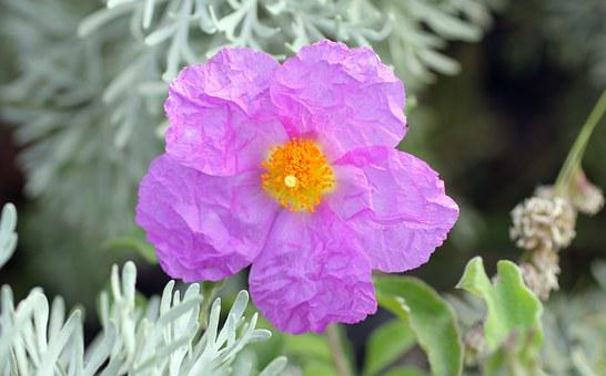 Rockrose, Cistus, Blossom, Bloom, Pink, Lipari, Purple