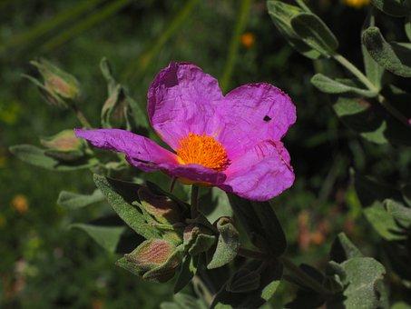Whitish Rock Rose, Flower, Blossom, Bloom, Pink