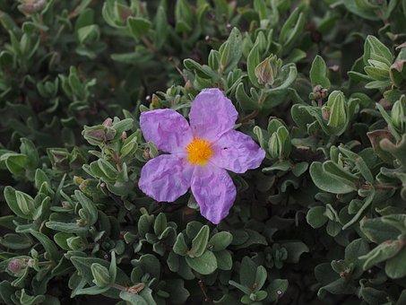 Rockrose, Blossom, Bloom, Purple, Pink, Cistus