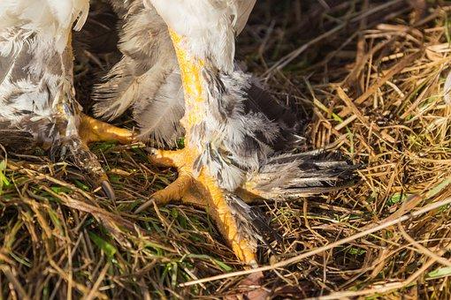 Spring Suspension, Talon, Claw, Chicken, Breed Chicken