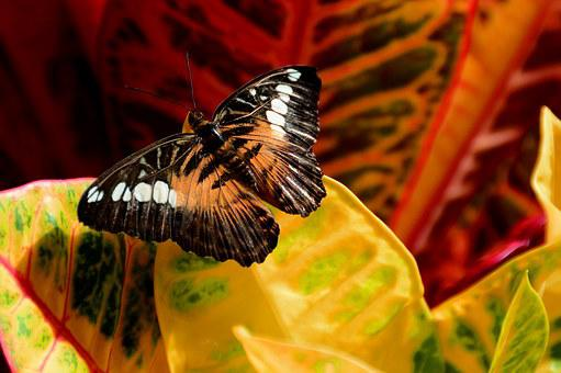 Butterfly, Brown, Clipper, Insect, Entomology, Wildlife