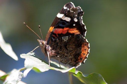 Admiral, Vanessa Atalanta, Butterfly