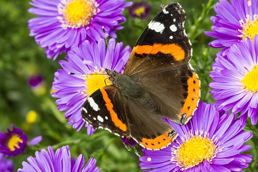 Butterfly, Admiral, Blossom, Bloom, Aster, Insect