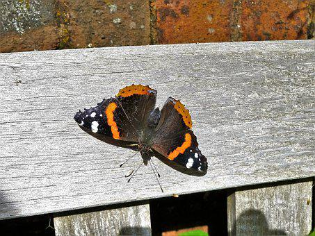 Red Admiral, Butterfly, Admiral, Red, Insect, Colorful