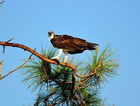 Osprey, Bird, Wildlife, Prey, Flying, Nature, Wild